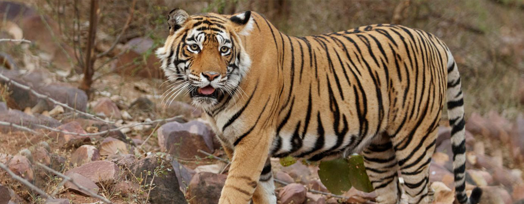 jaipur-ranthambore-same-day-tour-package